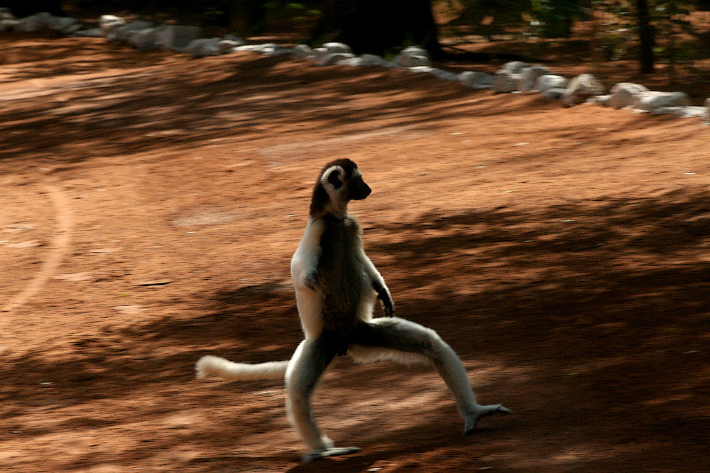 Propithecus verreauxi<br /> <br /> wild (as are all photags), but crossing the road (with style) at a fancy private reserve