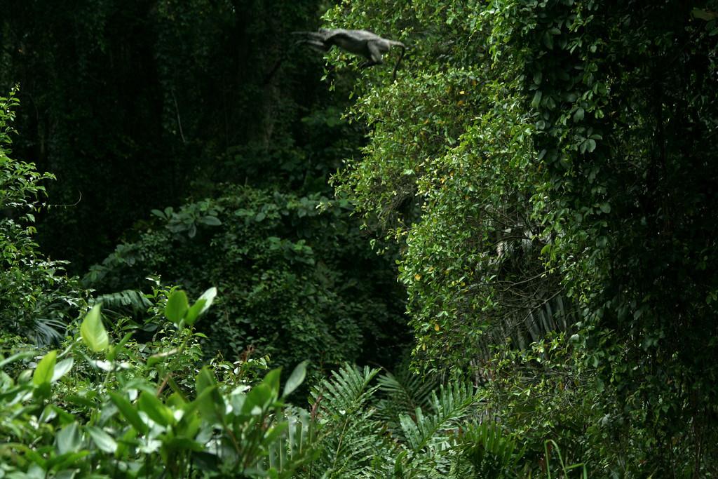 Trachypithecus cristatus selangorensis