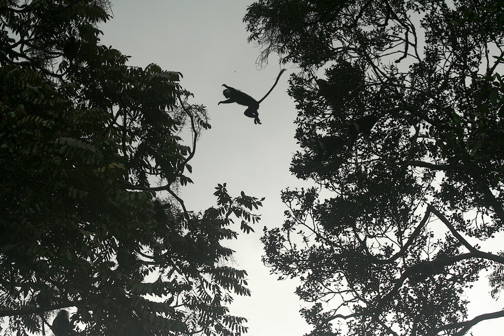 Colobus angolensis rwenzorii