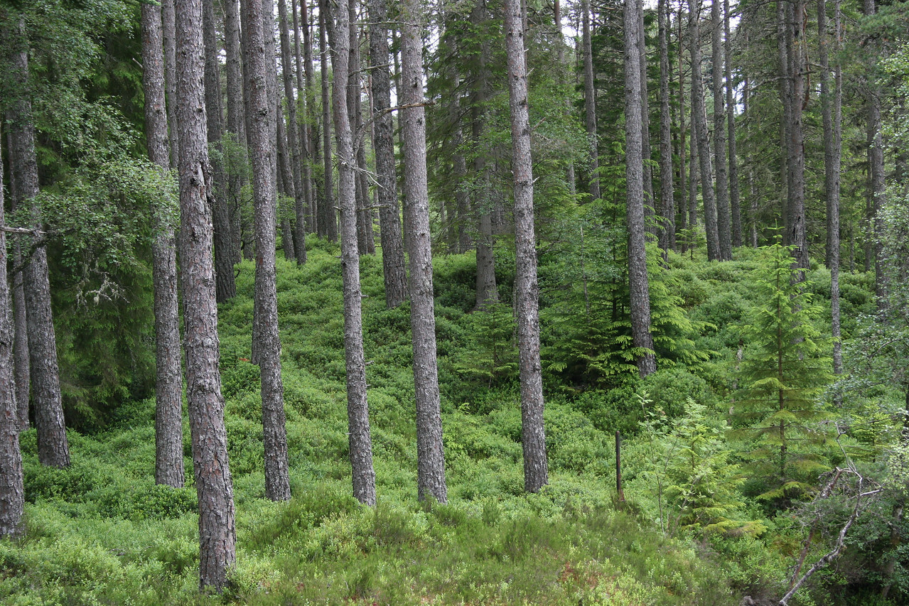 Scottish Highland's Forrest