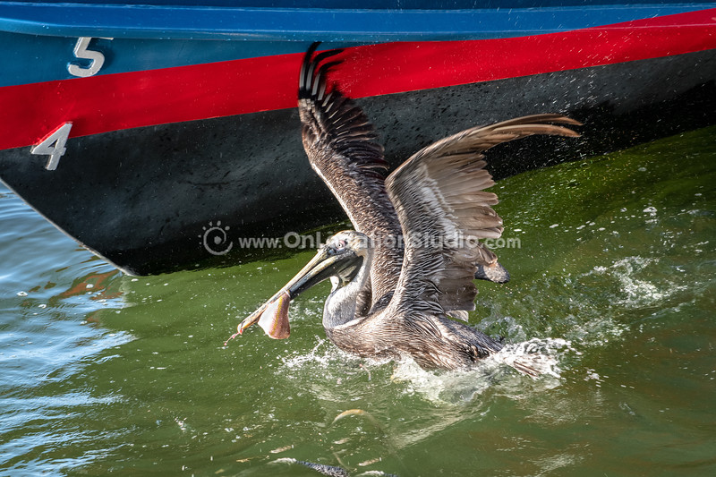 Pelicans at inlet_0112