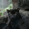 Bronx Zoo Panther