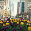 The Spring Tulips that line the center of Michigan Ave!
