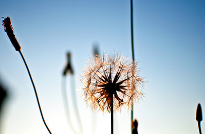 Dandelion backlit by the setting sun.