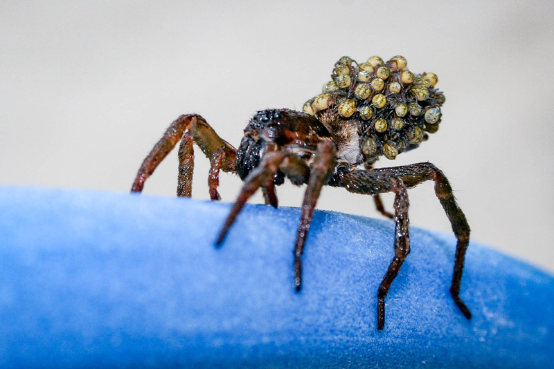 Wolfe Spider with Babies