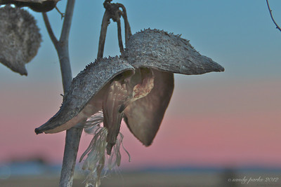 1-24-12- Milkweed at sunset