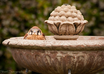 A Northern Pygmy Owl visited our backyard and enjoyed a bath in the fountain.
