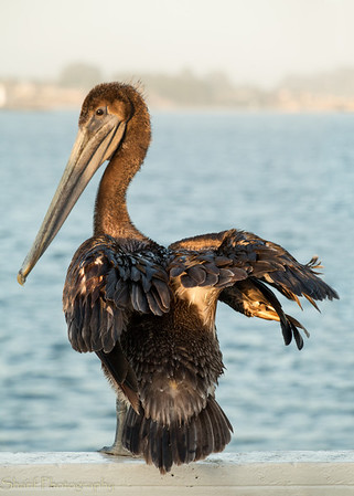 A pelican was sitting in the late sun on the railing of the wharf, posing for photographers.