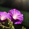 160914-MorningGlory-001-3