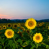 080908-OleySunflowers-0779