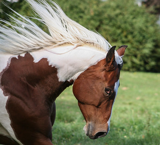 Indy ~ featured in American Paint Horse Magazine 2005