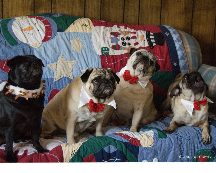 Joy to the World! Pug Chorus