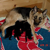 Fran Zando's Enna and her pups at 10 days old