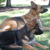 Tosco and Venlo von Orumhaus (aka Nikki) as a puppy)