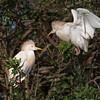 Cattle Egret Conversation