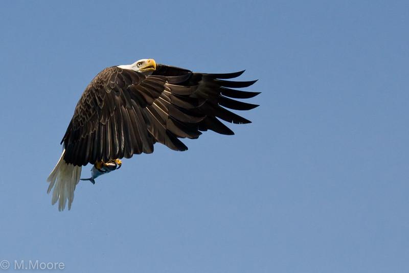 Fishing Eagle in Flight