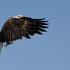 Fishing Eagle in Flight