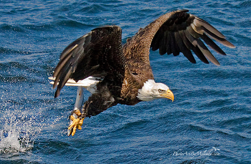 Eagle Fishing close