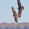 Osprey Chase over Blue Cypress Lake