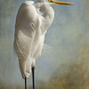 The Regal Egret