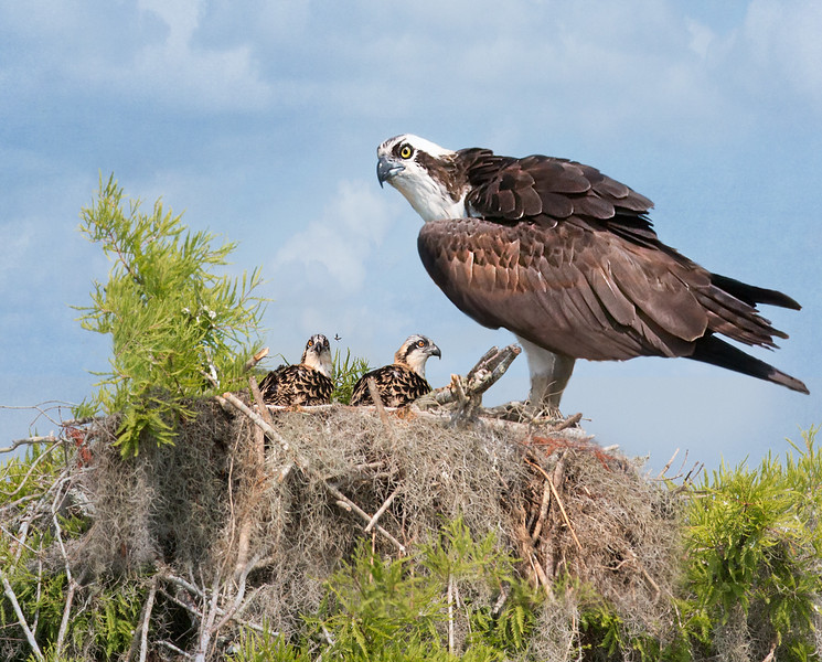 On Guard (osprey)