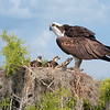 On Guard (osprey)
