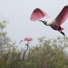 Foggy Morning Spoonbills