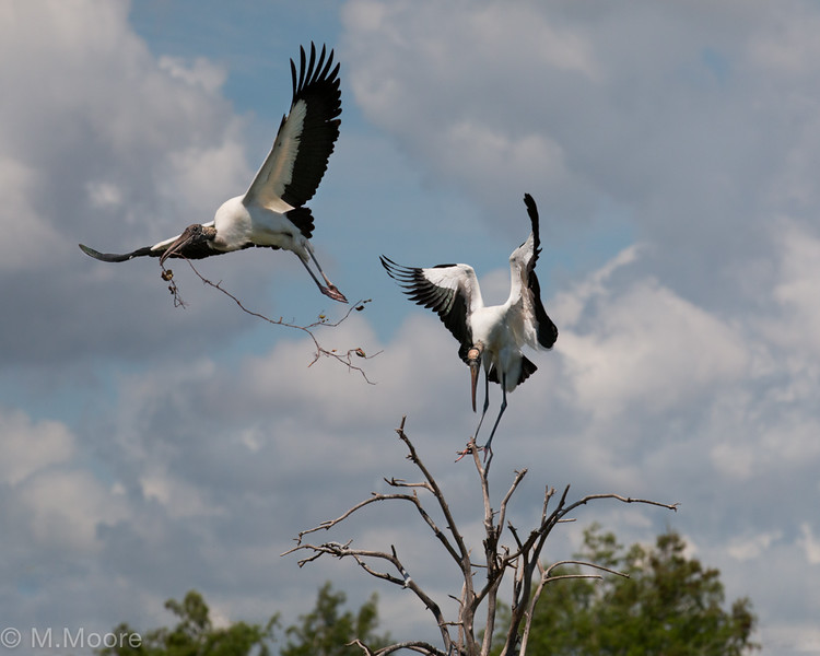 Storks of Wakodahatchee