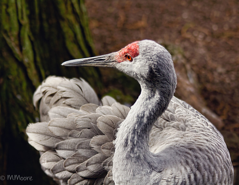 Sandhill Crane Side portrait