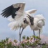 Laughing Storks