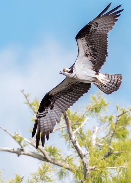 Osprey Aloft