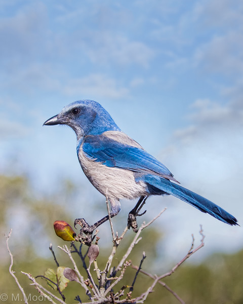 Endangered Florida Scrub Jay Vertical
