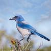 Endangered Florida Scrub Jay Vertical