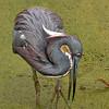 Tricolor Heron Posing