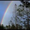 Dying Spruce Rainbow