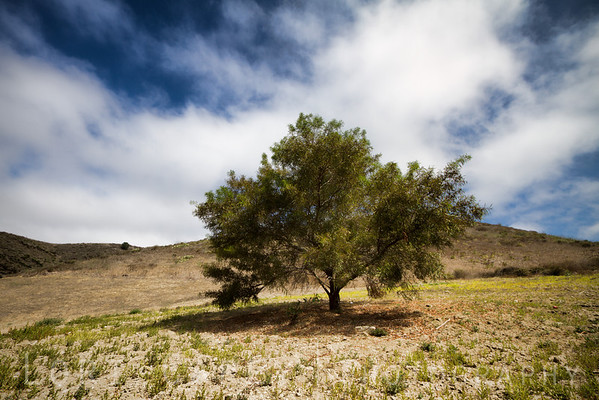 California Pepper Tree  (Schinus molle)