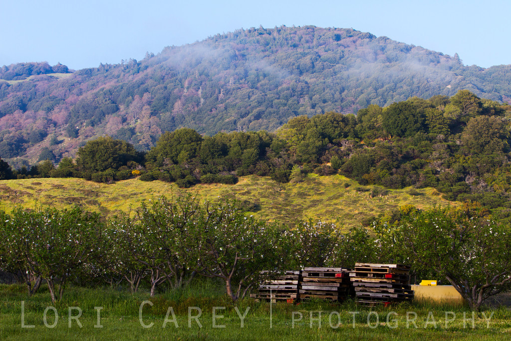 Apple orchard in bloom and hills with fog. Julian, California