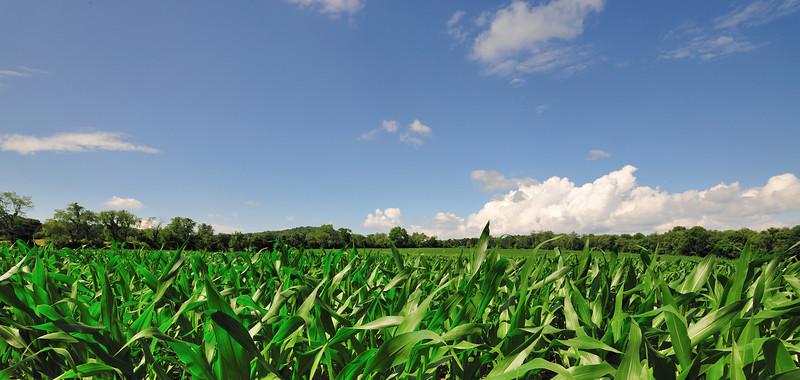 NY Corn