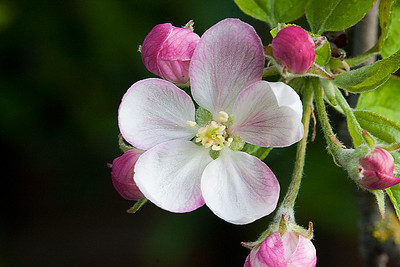 _mg_1565appleblossom_expummajor
