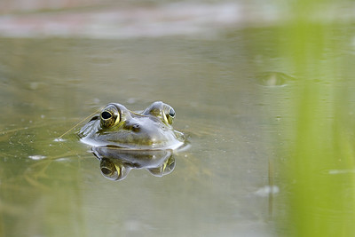 An American Bullfrog on the Ottawa River. National Geographic Creative  Picture ID 1251357