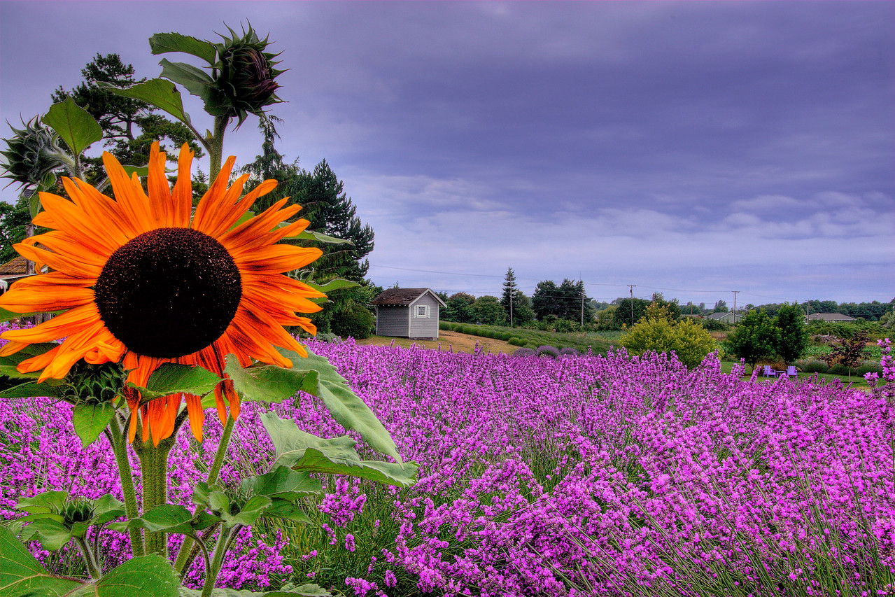 The last sunflower I found overlooking the Lavender Fields in Sequim ( pronounced Skwim) Washington. You can't see them but I was sitting in the middle of a bumble bee festival. They were all around me as I sat with my trusty tripod.