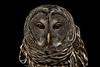 Barred Owl Staredown