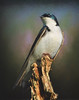 Eastern Tree Swallow