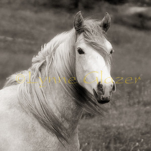 Ember's daughter Twix, approaching 2 yrs old.  She's by a Lipizzan stallion.  (80734)