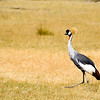 Cranes of Africa