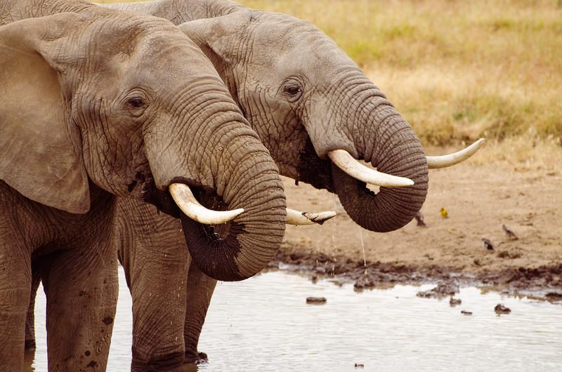 Pair of elephants