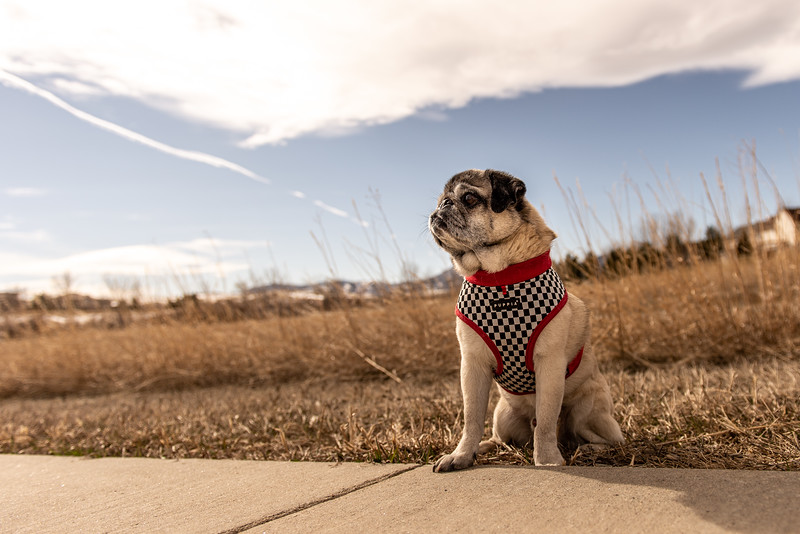 Proud pug on a cloudy day