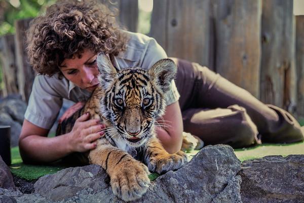 Bengal Tiger kitten, California, 1979