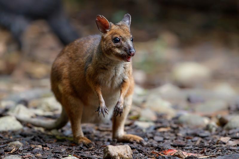 Red-legged Pademelon (Thylogale stigmatica)