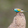 Golden-shouldered Parrot on Termite Mound